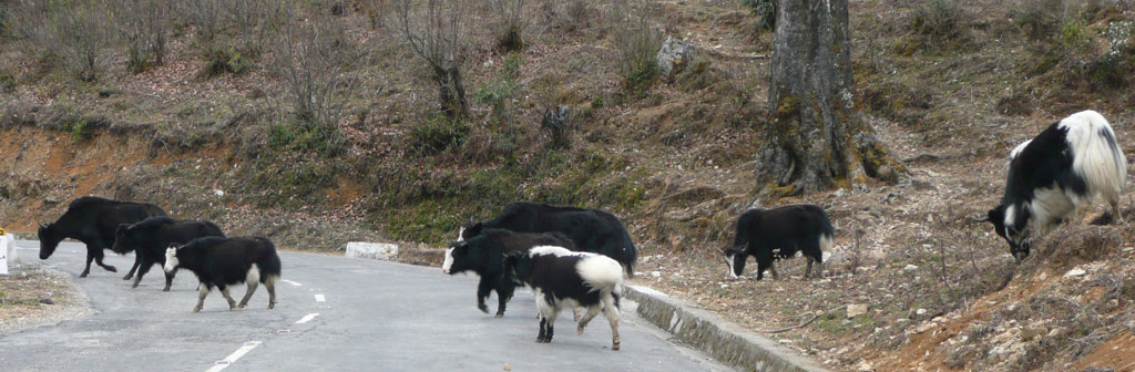 Yak Crossing!